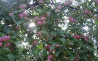 Яблоня Триумф — описание сорта, фото, отзывы