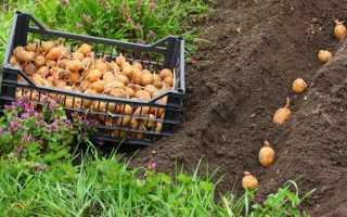 Что посадить после картошки, чтобы восстановить почву?