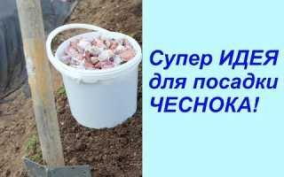 Как правильно посадить зимний чеснок в Сибири?