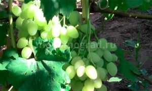 Виноград Зарница: описание сорта, фото и отзывы садоводов