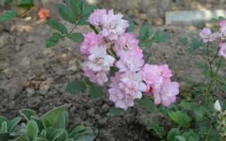 Роза крылышки ангела (rose chinensis Angel wings): описание, выращивание многолетнего сорта из семян, как правильно сажать