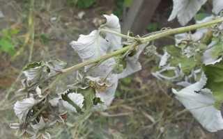 Почему желтеет малина весной и как с этим бороться?