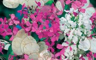 Лунный цветок: посадка и уход в грунт, выращивание в саду