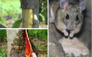 Что делать, если мыши сгрызли кору у яблони?