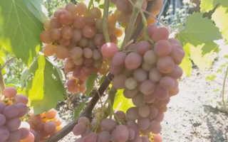 Виноград Дашуня: описание сорта, фото и отзывы садоводов