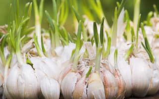 Как выращивать чеснок в домашних условиях?