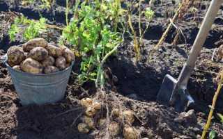 Когда убирать картошку с грядки?