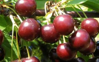 Вишня Тамарис — описание сорта, фото, отзывы садоводов