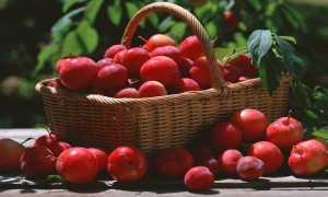Алыча Алые Паруса — описание сорта, фото и отзывы садоводов