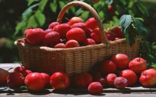 Алыча Иранская — описание сорта, фото и отзывы садоводов