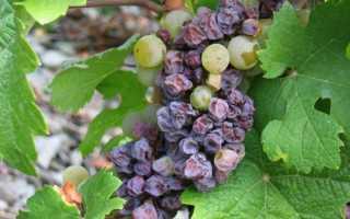 На листьях винограда пятна — что делать?