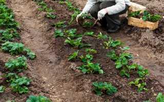 Сроки пересадки клубники осенью