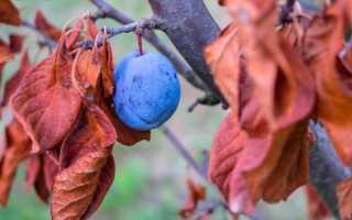 Влагозарядный полив алычи осенью