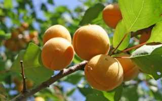 Крупноплодные сорта абрикоса — названия и описание с фото