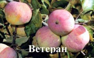 Яблоня Ветеран — описание сорта, фото, отзывы