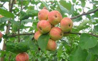 Какие лучше садить яблони на Урале?