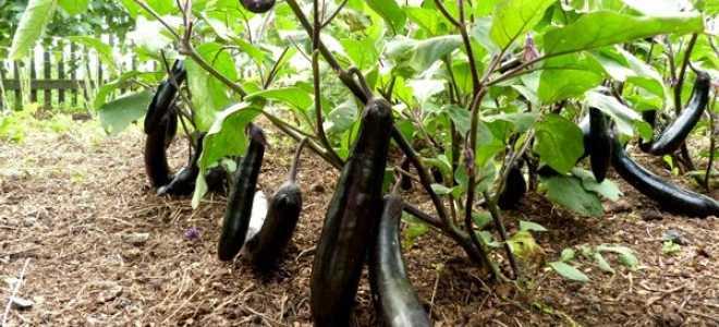 Уход за баклажанами в открытом грунте