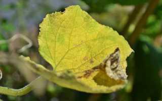 Чем лечить желтые листья огурцов?