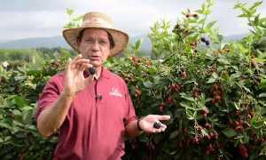Ежевика Оуачита — описание сорта, характеристика, выращивание, фото и отзывы
