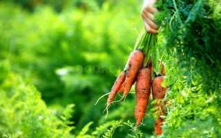 В какое время нужно убирать морковь с грядки?