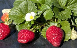 Земляника Медовая: выращивание, описание сорта, фото и отзывы
