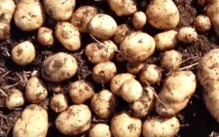 Картофель Никулинский – описание сорта, фото, отзывы