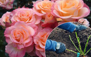 Посадка роз осенью, в открытый грунт весной