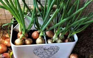 Как дома посадить лук?