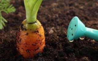 До какого времени поливать морковь?