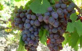 Виноград Ранний Русский: описание сорта, фото и отзывы садоводов