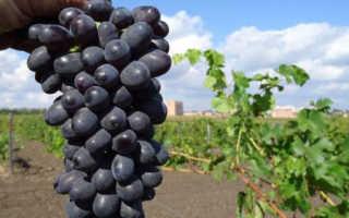 Виноград Макси белый: описание сорта, фото и отзывы садоводов