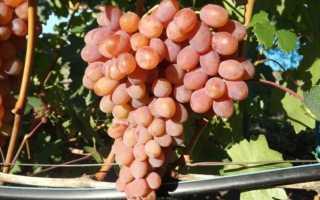 Виноград Румба: описание сорта, фото и отзывы садоводов
