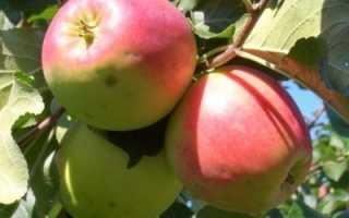 Яблоня Успенское — описание сорта, фото, отзывы