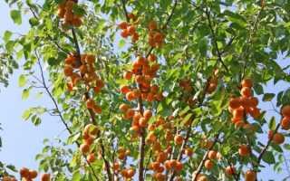 Как и когда правильно сажать абрикос в открытый грунт