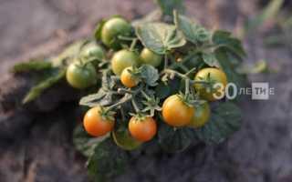 Почему желтеют плоды и листья арбуза