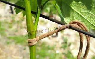 Как подвязать виноград?