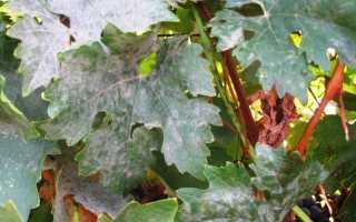 Мучнистая роса на винограде — как бороться?