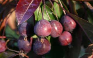 Яблоня Роялти — описание сорта, фото, отзывы