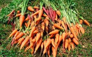 Когда убирать морковь в этом году?