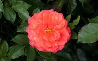 Роза братьев Гримм (Gebruder Grimm): фото, отзывы, описание, характеристика