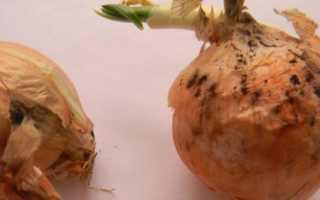 Почему гниет лук при хранении?