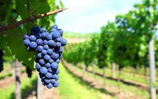 Виноград Амурский: описание сорта, фото и отзывы садоводов