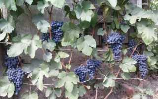 Посадка и уход за виноградом в Удмуртии