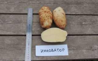 Картофель Инноватор — описание сорта, фото, отзывы, посадка и уход