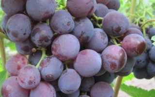 Виноград Рошфор: описание сорта, фото и отзывы садоводов