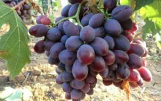 Виноград Алиса: описание сорта, фото и отзывы садоводов