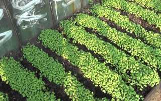 Какие сидераты посадить после чеснока?