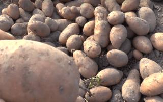 Картофель Каменский – описание сорта, фото, отзывы