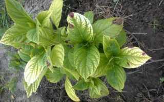 Лечение хлороза листьев гортензии в саду: можно ли поливать сульфатом железа
