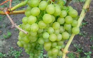 Виноград Белое Чудо: описание сорта, фото и отзывы садоводов